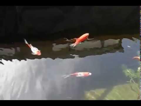 Bassin a poisson rouge shubunkin youtube for Entretien bassin poisson rouge