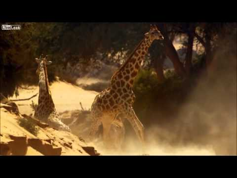 Thumbnail: Giraffes Fight To The Death