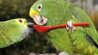 Смешные и Талантливые попугаи. Забавная видео подборка.