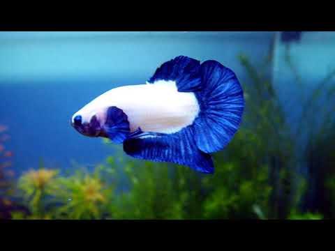 BETTA FISH TANK SETUP - Bluerim Betta Fish Aquascape