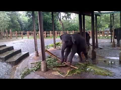 Intelligence of an elephant - The effort the calf took to break the wood!