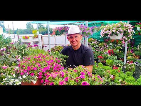 Цветы. Секреты сохранения цветов зимой. Пеларгония, фуксия, петуния, калибрахоа и др цветы Garden