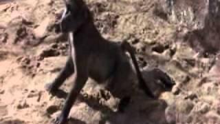 Drunk animals after eating Marula fruits