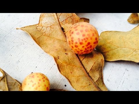 What's INSIDE Oak Apples and Other Galls!??