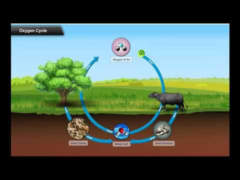 Oxygen Cycle - YouTube