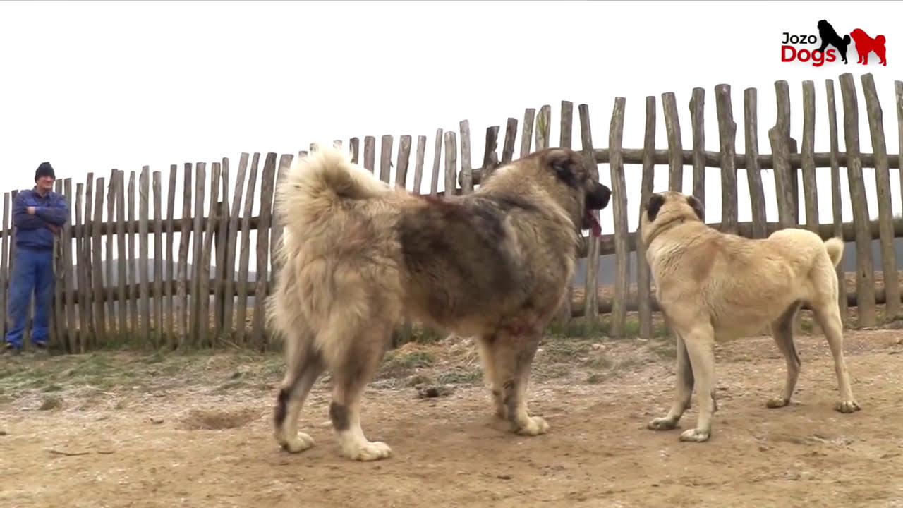 Jozo Dogs Don Bizon 103 7 Kg He Has 93 Cm Shoulder