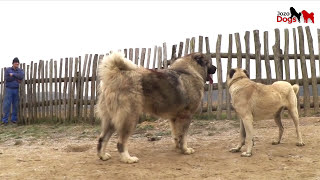 Repeat youtube video JOZO DOGS - Don Bizon - 103,7 kg /He has 93 cm shoulder height.