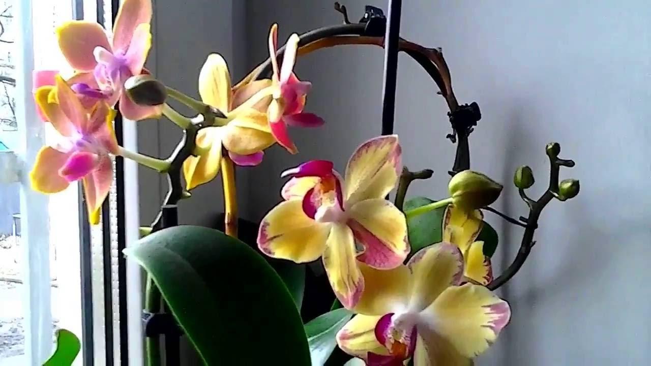 Картинки по запросу орхидеи на подоконнике