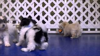 Playful Malti-tzu And Malti-poo Puppies!