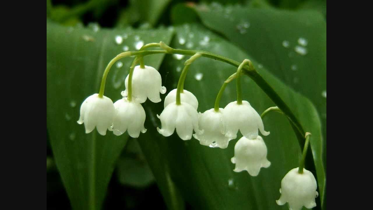Brin de muguet l 39 accord on youtube - Photo de brin de muguet porte bonheur ...