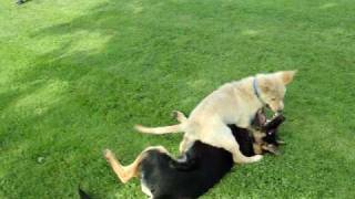 German Shepherd And Golden Retriever Puppies Playing