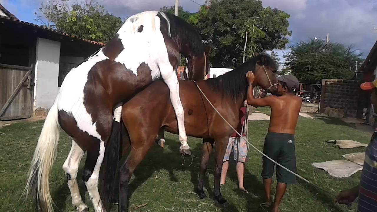 Heste bedækning video