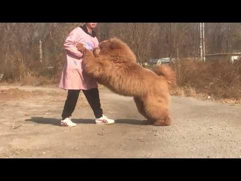 Super Tibetan Mastiff 10 Months Old
