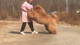 Super Tibetan Mastiff 10 Months Old