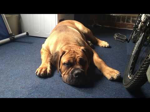 African Mastiff -Boerboel Hank The Tank 7 months old