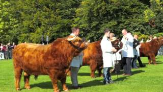 Royal Winner - HM the Queen's Highland Bull wins Glasgow Cattle Show