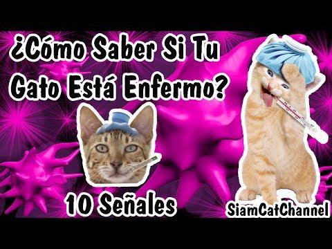 ¿Cómo Saber Si Mi Gato Está Enfermo? 10 Señales - SiamCatChannel