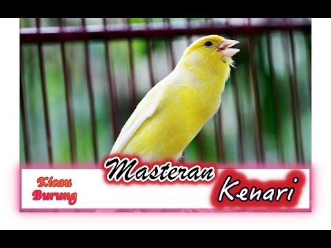 Download Lagu Suara Kicau Burung KENARI Gacor untuk Pancingan dan MASTERAN