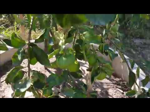 How to grow oranges, How to plant lemons, Visit Orange Farm, Siem Reap - Cambodia,