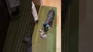 Kitchen Rumble! Singapura vs Miniature Schnauzer#singapuracat#singapura#miniatureschnauzer#cat#dog