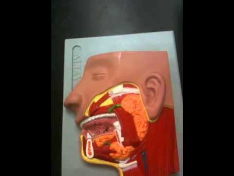Salivary glands model - YouTube