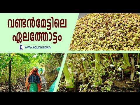 Cardamom Plantation at Vandanmedu | Haritham Sundaram | Kaumudy TV