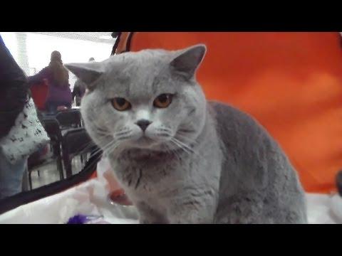 Британский короткошерстный Плюшевый кот, Породы кошек