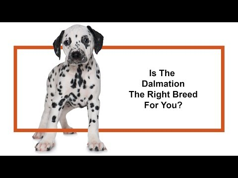 Everything Puppies - Dalmatian Breed Information (2019)