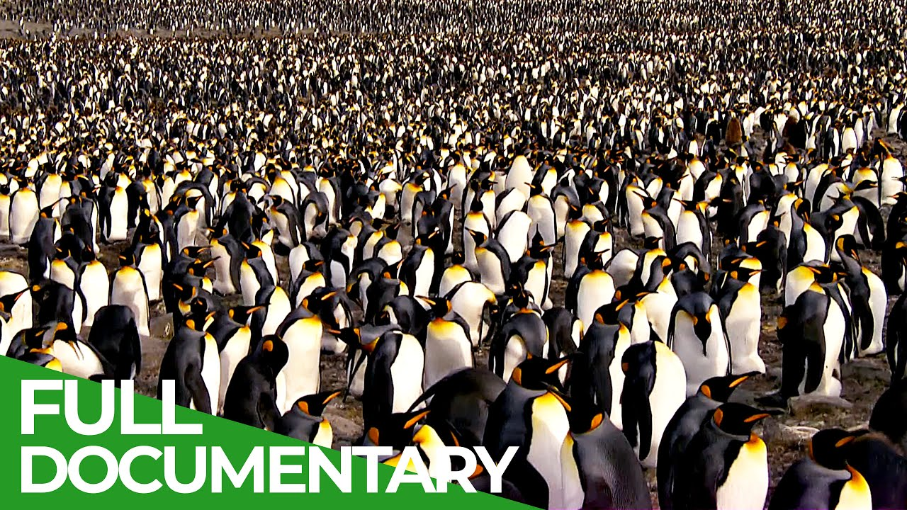 South Georgia - Penguin Paradise of the South Atlantic | Free Documentary Nature