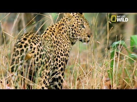 Un Tigre Vole La Proie D'un Léopard