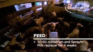 Holy Cow! Rare Quadruplet Calves Born In Texas