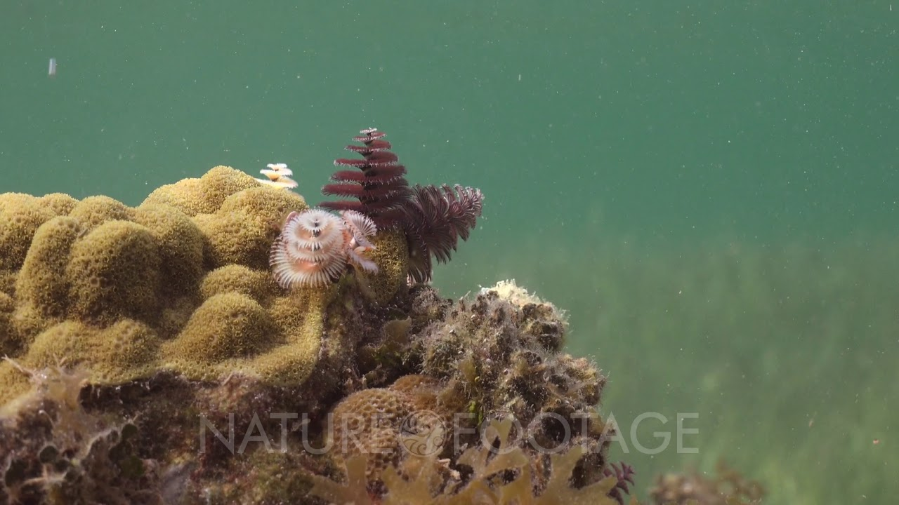 Christmas Tree Worms Living On A Small Live Rock Reef Youtube
