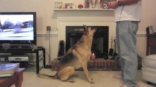 Leela The German Shepherd Dog (learning Bow Command)