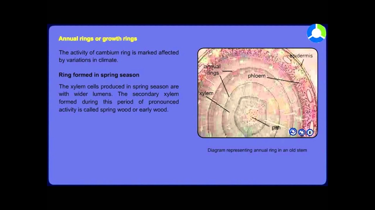 Stem secondary growth youtube stem secondary growth ccuart Images