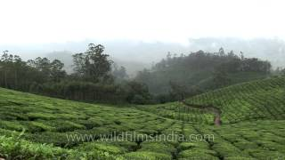 Vast stretch of tea plantations in Kerala