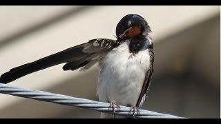 巣から落下したヒナの餌を捕獲のため、公園で昆虫を探しているとき、通...