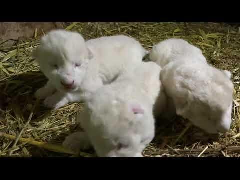 ВАУ !!! В Тайгане родилось целых ЧЕТЫРЕ БЕЛЫХ ЛЬВЕНКА !!!