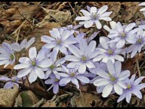 Многолетние цветы для сада Печеночница благородная