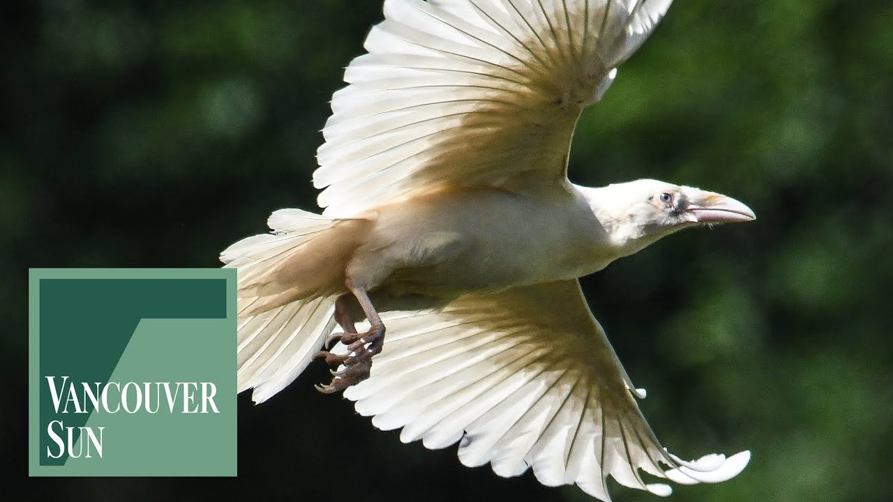 Reality and myths surrounding the rare White Raven ...