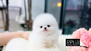 Ice White Coat Pomeranian Top Notch Quality. Elsa - Rolly Teacup Puppies