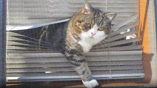 ブラインドからねこ。Maru from the window shade.