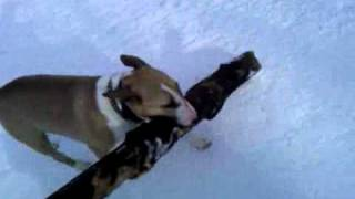 Funny Weight Lifting Bull Terrier