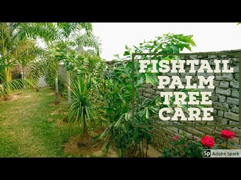 Fishtail Palm Tree Care In Hindi/Urdu
