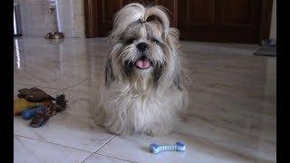Поисковые игры с ши тцу | Как можно играть с собакой дома