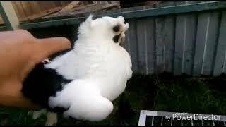 Узбекские декоративные голуби Александра.