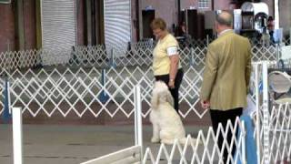 Goldendoodle Zoe - Okc Dog Show Novice A 4-4-2010.avi