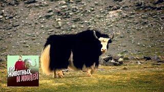 Тува. Паломничество к азиатским быкам. Часть 2  🐾 Про животных и людей 🌏 Моя Планета