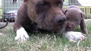 Щенки Питбультерьер(4 недели) их мама и кошка.Pit Bull Puppies.ピット·ブルの子犬.