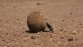 糞球を転がすフンコロガシ Dung beetle rolling a ball of dung