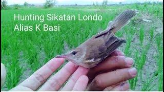 Hunting Burung Sikatan londo Alias........